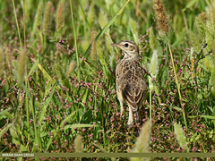 Paddyfield Pipit (Anthus rufulus) (gilgit2) Tags: pakistan birds fauna canon geotagged wings wildlife feathers tags location species tamron category avifauna islamabad anthusrufulus i14 paddyfieldpipitanthusrufulus imranshah canoneos7dmarkii tamronsp150600mmf563divcusd gilgit2
