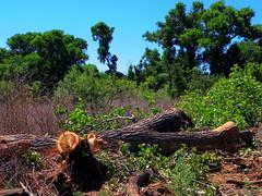 Chopped tree on Jail Trail (EllenJo) Tags: pentax cottonwoodarizona 2016 june19 jailtrail 86326 ellenjo ellenjoroberts pentaxqs1