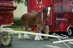 DSC_0069-a20 (stumbleon) Tags: california people horse beer truck team nikon nikond70s demonstration budweiser fairfield hitch peterbuilt heavyhorses anheuserbusch solanocounty clydsdale beerwagon demonstrationteam kttrailer horsehandelers