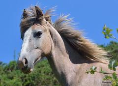 Caballo (amajocu) Tags: caballo nikon d5100