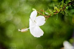 White beauty (dedi.santana87) Tags: bokeh flowers fujinon vintagelens nikon m42 manual 55mm