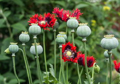 Poppies (stmoritz1960) Tags: flowers nature poppies seedpods stmoritz1960 stmoritzphotography