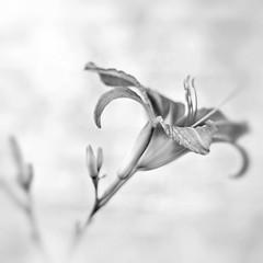 Flower Power BW (-Simulacrum-) Tags: flower nature closeup nikon soft flickr dof creative depthoffield serene naturephotography 500mmf18 nikond5300 nikonphotopgraphy