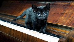 Mogwai (Paul Fessey) Tags: black cute cat kitten piano adorable kitty whiskers fawn haloween mogwai keyboardcat omgisthatakittenplayingthepiano