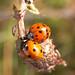 Ladybird NottsWT (cpt Trevor Pendleton)