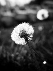 P3307261-2 (MizGingerSnaps) Tags: blackandwhite bw monochrome virginia march spring afternoon monochromatic dandelion williamsburg dandelions day90 2012 selectivecolor project365 90366