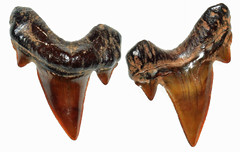 Otodus Obliquus (Fossiltoothpic) Tags: macro animal animals canon tooth fossil shark teeth paleontology extinct fossils eocene sharkteeth sharktooth 60mmmacro otodus mackerelshark otodusobliquus canoneos7d fossilsharktooth fossiltooth fossilteeth