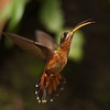 Rufous-breasted Hermit (Glaucis hirsuta) (PeterQQ2009) Tags: brazil birds glaucishirsutus rufousbreastedhermit glaucishirsuta