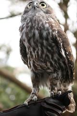 Barking owl (loobyloo55) Tags: bird nature zoo wildlife australia nsw owl tarongazoo australianwildlife barkingowl canoneos400d