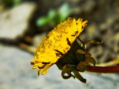 Dandelion In Profile (LostMyHeadache: Absolutely Free *) Tags: black flower green nature leaves yellow tile petals spring stem weed nikon earth pavement curls dandelion soil davidsmith calgaryalbertacanada
