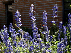 Cinco de Mayo at Tohono Chul Park (Distraction Limited) Tags: flowers arizona nature gardens geotagged tucson sage salvia wildflowers botanicalgardens salviafarinacea tohonochulpark mealycupsage mealysage desertcorner geo:lat=3233943265243099 geo:lon=11098172470436862