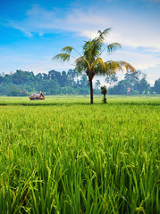 Ubud Paddy Field 1 (syukaery) Tags: bali field indonesia rice paddy ubud 1755mm