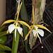 Epidendrum parkinsonianum - Helge Weissig