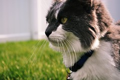 Watch (Send me adrift.) Tags: light cats sun white eye grass yellow cat pepper grey spring kitten gray kitty whiskers