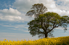 Brading, Isle of Wight (Charles Smallman) Tags: trees landscape countryside isleofwight rapeseed nikond700 charlessmallman charlessmallmansportfoliojanuary