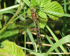 Hairy Dragonfly - Brachytron pratense (erdragonfly) Tags: hairy dragonfly pratense brachytron broomfleet