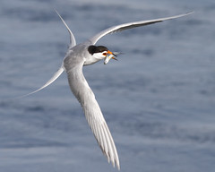 Forster's Tern [Explored best position # 6] (bmse) Tags: fish flying flight tern bolsachica forsters salahbaazizibmsecanon7d400mm56