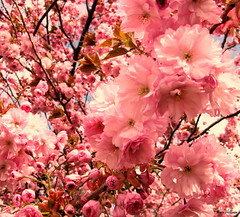 cherry tree blossom (kanzan) (Nin) Tags: flowers tree cherry cherryblossoms cherrytree kanzan