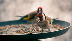 One pair Carduelis carduelis (_p.Gbor_) Tags: bird nature termszet madr repls tengelic
