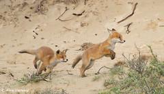 Run ... just run ... (Alex Verweij) Tags: wild 6 nature animals canon puppy pups puppies natuur 7d pup f5 2012 vos reinier vossen vossenjong burgt alexverweij 6iso400 vossenburgt 400mm11600f5