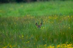 _W9H2062 (asbimages.co.uk) Tags: uk nature beautiful animal sussex westsussex wildlife deer roe roedeer crawley capreolus capreoluscapreolus willoughbyfields