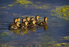 new new babies cottonwood marsh boulder co-20120520-11.jpg (Cathy andersen) Tags: colorado babies wildlife boulder anasplatyrhynchos mallardduck waldenponds cottonwoodmarsh cathyandersen