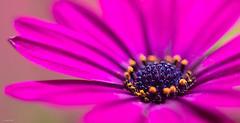 . (Jorge Dark) Tags: pink flower macro up canon 50mm close flor rosa 18 60d jorgedark
