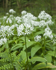 Wild Garlic (l4ts) Tags: landscape derbyshire peakdistrict wildflowers darkpeak ramsons wildgarlic alliumursinum linacrereservoirs birleywood