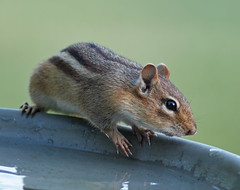 Eastern Chipmunk  - Scroll down  to view more photos in this series: (Tony Tanoury) Tags: animal fur rodent birdbath michigan ngc chipmunk npc tamiasstriatus easternchipmunk supershot
