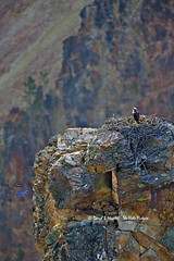 Osprey Nest, Grand Canyon of the Yellowstone (Daryl L. Hunter - The Hole Picture) Tags: view raptor osprey grandcanyonoftheyellowstone yellowstonepark ospreynest grandcanyonoftheyellowstoneosprynestyellowstonenationalparkwyomingunitedstates