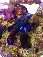 Mandarin Fish (Robin playing with dollies) Tags: aquarium marine saltwater mandarinfish greenmandarin beautifulfish mardarindragonet