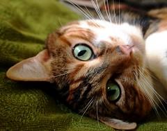 The lover (Darwin Bell) Tags: pet cat eyes whiskers margarite bestcapturesaoi