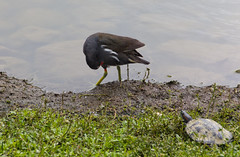 IMG_3317 (jaglazier) Tags: plants grass birds animals june gardens preening cities taiwan parks turtles taipei daanforestpark ponds urbanism reptiles 2012 daan coots 6112 copyright2012jamesaglazier