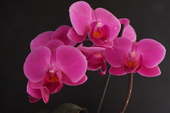 Orchids (Paul F Gannon) Tags: pink flowers macro closeup orchids fujihs20