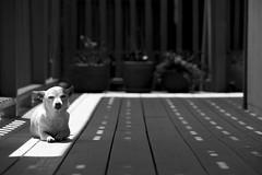 Paquita in the sun (gdelargy) Tags: dog chihuahua mono blackwhite balcony godzilla tiburon sharkbait paquita canonef70200mmf28lisiiusm usa2012 highqualitydogs
