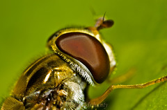 Another catch(hoverfly) (!!!EXPLORED 5th june!!!) (asish mohanty) Tags: shadow sunlight green eye fly leaf compound nikon sigma 250 dcr 105mm raynox naturallightflash d7000 perchedhoverfly