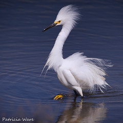 Elvis is Back! (Patricia Ware) Tags: california ngc huntingtonbeach snowyegret egrettathula bolsachicaecologicalreserve allrightsreserved specanimal avianexcellence patriciaware sunrays5
