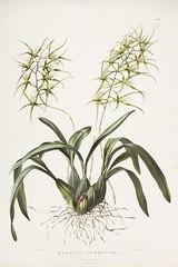 n82_w1150 (BioDivLibrary) Tags: guatemala mexico orchidaceae plants missouribotanicalgardenpeterhravenlibrary bhl:page=769198 dc:identifier=httpbiodiversitylibraryorgpage769198 taxonomy:binomial=brassiaverrucosa womeninscience artist:name=augustainneswithers artist:viaf=95819243 augustainneswithers q2870951 illustrator:wikidata=q2870951 hernaturalhistory