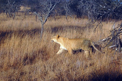 Lion (Arno Meintjes W