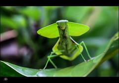 BIOLOGICAL CAMOUFLAGE (rondeboom) Tags: southamerica nature mantis ecuador amazon natuur tropic 2012 sprinkhaan amazone zuidamerika nevelwoud leafmantis wwwdifoproductionsnl rondeboom