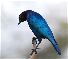 Cape glossy starling (anacm.silva) Tags: africa wild bird nature birds southafrica nikon wildlife natureza starling aves ave krugernationalpark krugerpark kruger frica vidaselvagem estorninho capeglossystarling fricadosul lamprotornisnitens anasilva nikond40x mygearandme