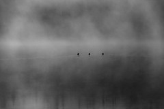 Trois canards, noir et blanc (transfear) Tags: morning famille house lake nature water fog rural forest mouth duck big fishing eau  bass country chainsaw lac chalet billy wound healing bandage canard fort brume fortin matin saucisse dor pche clova chane blessure brochet scie loign gurison pensement