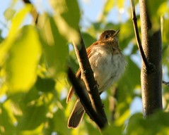 Veery 1 (mbmcclintock) Tags: aroundhome