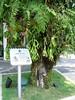 Heritage tree (shankar s.) Tags: sentosaisland imagesofsingapore heritagetree