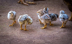 Chicks (malc1702) Tags: chicken birds chicks nikond7100 nikkor18140mm