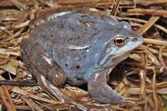 Rana arvalis (Vide Ohlin) Tags: life pond frog aquatic amphibians rana biology arvalis