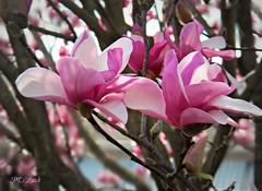 Joyful! (MissyPenny) Tags: pink tree spring pennsylvania buckscounty tuliptree floweringtree japanesemagnolia southeasternpa bristolpennsylvania pdlaich missypenny