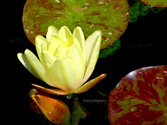 Lovely Lily (Shaid Photography) Tags: flowers plants brown flower color detail macro cute green art nature water beautiful beauty yellow wow photography petals amazing interesting perfect colorful pretty lily view zoom gorgeous sony awesome blossoms peaceful cybershot precious simplicity views stunning wildflowers blooms lilypads relaxation upclose incredible lilypad breathtaking perfection blooming macrophotography macrography jawdropping ultrazoom dschx30v