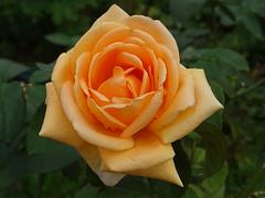 Yume Rose (Shelley Huang) Tags: flowers flower rose yellowflower orangeflower rume goldflower taipeiexpopark yumerose 夢玫瑰花