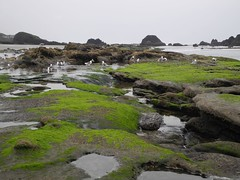 2016-04-27_DSCN5280 (becklectic) Tags: beach oregon gulls oregoncoast tidepools sealrock 2016